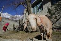 多くの家庭で飼われているヤギ=パキスタン・カリマバードで2015年12月12日、長谷川直亮撮影