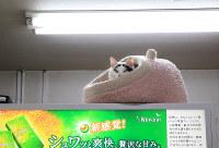 Hachi, the shopkeeper cat, takes a break inside the Itokyu tobacco shop in Mito, on Feb. 1, 2016. (Mainichi)