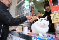 東日本大震災の1ケ月後に生まれ、水戸駅前で「幸せ」を振りまいてきた「招き猫」のハチ。眉毛が八の字の事から名前がついた=水戸市で2016年2月1日、梅村直承撮影