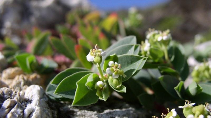 自然の岩をダイナマイトでくりぬいて造ったプールがある「海軍棒」の海岸に咲いていたボロジノニシキソウの花=筆者提供
