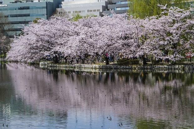 作品に登場する東京・上野の桜