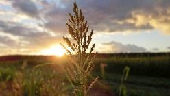 製糖期、収穫されていくサトウキビの周りに、風よけとして植えられているもちきび。毎朝、この朝日ともちきびを見ながらランニングしています=筆者提供