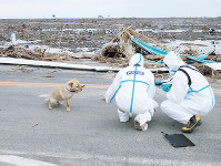 A pet dog abandoned after the outbreak of the Fukushima nuclear crisis approaches police officers in protective suits in Minamisoma, Fukushima Prefecture, on April 4, 2011. (Photo courtesy of Fukushima Prefectural Police)