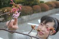 例年より2週間早く開花した「頼朝桜」=千葉県鋸南町で、2016年2月1日