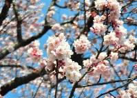 一帯の桜並木の中で1本だけが先駆けて開花した桜=和歌山市中之島で2016年2月10日、倉沢仁志撮影