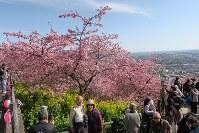 満開になった早咲きの桜と菜の花=神奈川県松田町の松田山で2016年2月19日、澤晴夫撮影