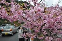 見ごろを迎えている津久見市の河津桜=大分県津久見市四浦で2016年2月20日、佐野格撮影