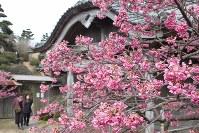 見ごろを迎えた鍋島邸のヒカンザクラ=長崎県雲仙市で2016年2月19日、近藤聡司撮影