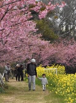 河津桜と菜の花に囲まれて散策する親子=愛知県田原市福江町の免々田川沿いの歩道で2016年2月23日、吉富裕倫撮影