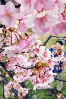 見ごろを迎えた河津桜=兵庫県淡路市で2016年2月23日、大西岳彦撮影
