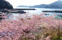 遊木漁港で満開となった河津ザクラ=三重県熊野市遊木町で2016年2月26日、汐崎信之撮影