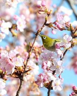 蜜を求めて飛び交うメジロ=前橋市敷島町の敷島公園で2016年2月27日、尾崎修二撮影