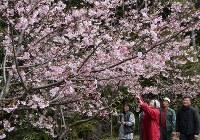 美しい花を咲かせている河津桜=三重県玉城町中角の町道沿いで2016年2月29日、大原隆撮影
