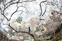 咲き出した涅槃桜=香川県善通寺市の総本山善通寺で2016年3月8日、山中尚登撮影