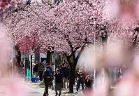 通りを春色に染めた満開のオオカンザクラとカンヒザクラ=名古屋市東区で2016年3月12日、兵藤公治撮影