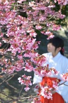 見ごろを迎えた亀山八幡宮のおかめ桜=山口県下関市中之町で2016年3月15日、仲田力行撮影