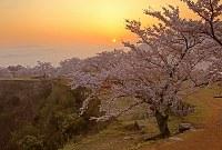 桜は北千畳がソメイヨシノ、南千畳に1本だけヤマザクラ。2013年春は咲かなかった。渡り鳥が花芽を全部食べたらしい。竹田城跡は独立した山なので、渡りの目印にしているのだろう。テングス病も増えている。吉田さんは病気の木の手入れも続けてきた=2012年4月18日午前5時35分、吉田利栄さん撮影