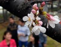 雨降る中、全国で最も早く開花が発表された桜=福岡市中央区の福岡管区気象台で2016年3月19日、山下恭二撮影