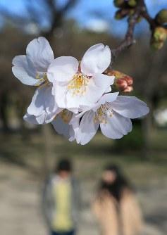福岡市とともに全国で最も早く19日に桜の開花が観測された名古屋市。花を咲かせたソメイヨシノ=名古屋市昭和区の鶴舞公園で2016年3月19日、兵藤公治撮影