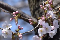 岐阜市で桜が開花=岐阜市加納天神町1で2016年3月20日、石塚誠撮影