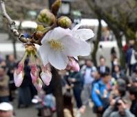 東京で開花が発表されたこの日、靖国神社のソメイヨシノを一目見ようと多くの人たちが集まっていた=東京都千代田区で2016年3月21日、喜屋武真之介撮影