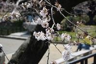 熊本城内で咲き始めた桜=熊本市中央区の熊本城で2016年3月22日、柿崎誠撮影