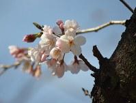 長崎市で桜が開花=長崎市五島町の五島町公園で2016年3月22日、竹内麻子撮影