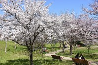 見ごろを迎えた早咲きの桜=松山市の石手川緑地で2016年3月22日