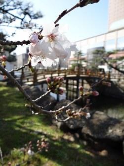開花した和歌山城の桜=和歌山市で2016年3月22日、矢倉健次撮影