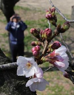 大阪城公園で桜の状況を確認する職員。大阪でも開花が発表された=大阪市中央区で2016年3月23日、幾島健太郎撮影