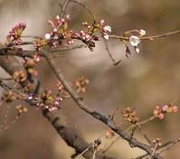 樹齢80年超というソメイヨシノの基準木が今年も開花した=群馬県太田市本町で2016年3月22日