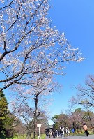 Flowering cherry trees along Inui Street in the Imperial Place are seen under the blue sky on March 25, 2016. (Mainichi)