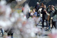 People busily take photos of cherry blossoms on Inui Street in the Imperial Palace on March 25, 2016. (Mainichi)