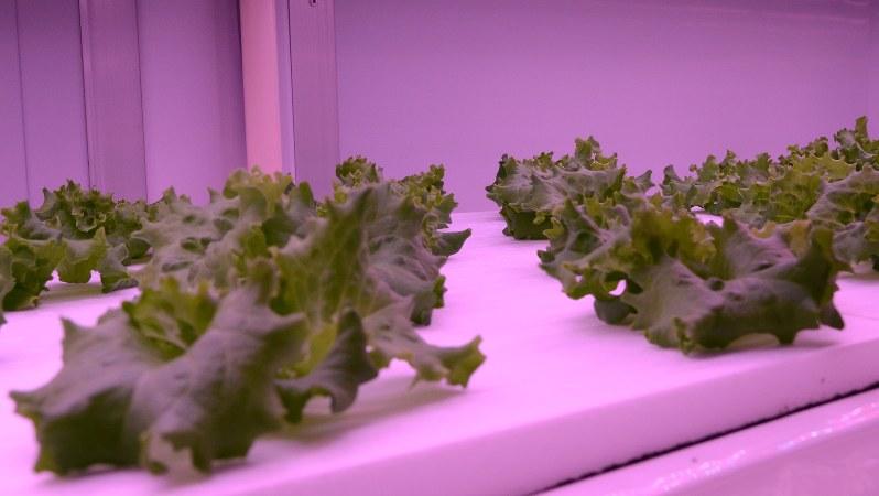 植物工場で栽培される野菜