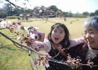 ちらほらと花を付けた桜にカメラを向ける子どもら=岡山市北区の岡山後楽園で2016年3月26日、平川義之撮影