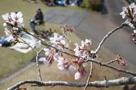 天ケ城公園で咲き始めた桜=宮崎市高岡町で2016年3月27日、黒澤敬太郎撮影