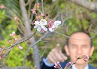 静岡市で桜が開花=静岡市駿河区の静岡地方気象台で2016年3月27日、井上知大撮影