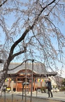 見ごろを迎えた宝寿院のしだれ桜=山梨県市川三郷町市川大門で2016年3月27日、松本光樹撮影