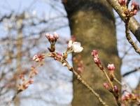 咲き始めたソメイヨシノの標準木=福井市豊島2で2016年3月27日、近藤諭撮影