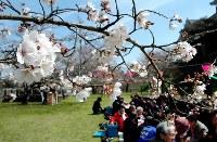 花が開き始めた城山公園の桜=愛媛県大洲市で2016年3月25日、渕脇直樹撮影