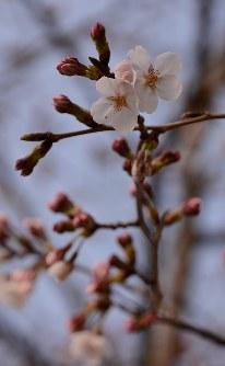 開花が始まった桜=水戸市三の丸で2016年3月28日分、加藤栄撮影