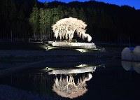 ライトアップされた「水戸野のシダレサクラ」=岐阜県白川町水戸野で2016年3月26日