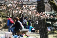 偕楽公園でも桜がほころび始めた=三重県津市広明町で2016年3月28日