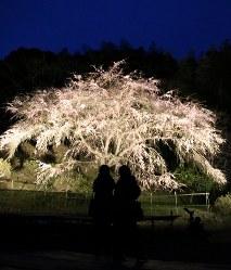 夜空に生える枝垂れ桜=福岡県築上町の天徳寺で2016年3月29日、降旗英峰撮影