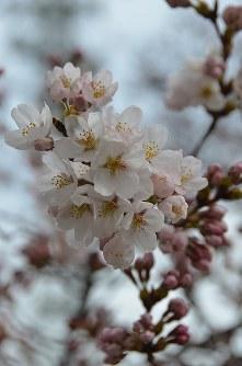 ピンク色の花を咲かせたソメイヨシノ=長野県飯田市の大宮通りで2016年3月29日分、湯浅聖一撮影