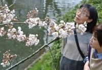 陽気に誘われて咲き始めた桜の花=富山市新桜町の松川沿いで2016年3月29日、青山郁子撮影