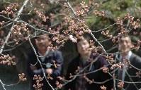 開花し始めたソメイヨシノ=宮城県白石市の白石城で2016年3月29日、豊田英夫撮影