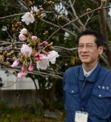 開花した標本木のソメイヨシノ=徳島市大和町2の徳島地方気象台構内で2016年3月30日、河村諒撮影