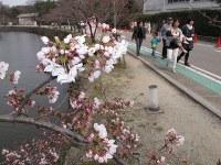 一部が開花し始めた彦根城内堀沿いの桜並木=滋賀県彦根市金亀町で2016年3月30日、西村浩一撮影