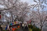 見ごろを迎えた斐伊川堤防桜並木=島根県雲南市で2016年3月31日、山田英之撮影